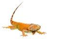 Orange green iguana isolated on white background Royalty Free Stock Photo