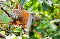 Orange green iguana-reptile lizard in rain forest Royalty Free Stock Photo