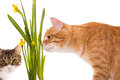Orange and grey cats sniff daffodils isolated on white Royalty Free Stock Images