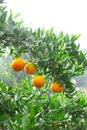 Orange grove Royalty Free Stock Photo