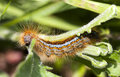 Orange hairy caterpillar Royalty Free Stock Photos