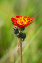 Orange Hawkweed Royalty Free Stock Photo