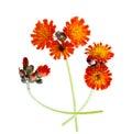 Orange Hawkweed Royalty Free Stock Photo