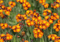 Orange Hawkweed Patch Royalty Free Stock Photo