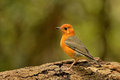 Orange-headed Thrush. Royalty Free Stock Images