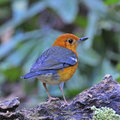 Orange headed thrush beautiful bird zoothera citrina standing on the log Stock Photos