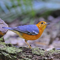 Orange headed thrush beautiful bird zoothera citrina standing on the log side profile Royalty Free Stock Photography