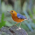 Orange headed thrush beautiful bird zoothera citrina standing on the rock breast profile Stock Image