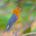 Orange headed thrush bird beautiful zoothera citrina standing on the branch Royalty Free Stock Photo