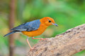 Orange headed thrush bird beautiful zoothera citrina standing on the log Stock Photo