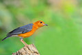 Orange headed thrush bird beautiful zoothera citrina standing on the log Stock Images