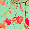 Orange hearts heart shaped leaves in a tree in autumn Royalty Free Stock Image