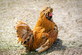 Orange hen portrait of looking directly tufted shallow dof Royalty Free Stock Image