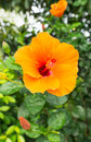 Orange hibiscus blossom of tropical Stock Photo