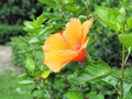 Orange hibiscus flower blooming in the garden orange flower in t background blurred blossom is Royalty Free Stock Photos