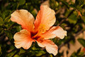 Orange hibiscus flower in full bloom Royalty Free Stock Image