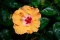 Orange Hibiscus flower in garden Stock Images