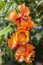 Orange Hibiscus Hibiscus syriacus Royalty Free Stock Photo
