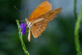 Orange julia an butterfly drinks nectar from a small purple flower Stock Image