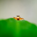 Orange jumping spider up close nature concept Royalty Free Stock Photo
