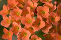 Orange Kalanchoe Stock Images