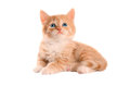 Orange kitten with blue eyes eyed ginger tabby on a white background Stock Image