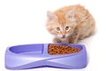 Orange kitten eating and white striped food morsels out of dish Stock Image
