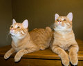Orange kittens two six month old lay side by side Stock Photos