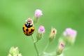 Orange lady bug on flower Royalty Free Stock Images