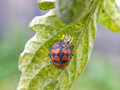 Orange ladybird beetle a close up view of an hunting aphids on a tomato plant Stock Images
