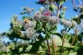 Orange ladybug on flower Royalty Free Stock Photo