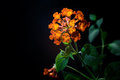 Orange Lantana Flowers camara Stock Images