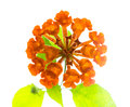 Orange Lantana Flowers camara is isolated on white background Stock Images
