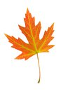 Orange leaf of silver maple acer saccharinum on white background Royalty Free Stock Photo