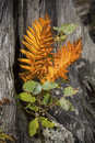 Orange leaves of cinnamon fern on driftwood stump, northwestern Royalty Free Stock Photo