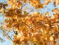 orange leaves oak branch blue sky sunlight Royalty Free Stock Photo