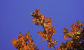 Orange leaves tinted crystal blue sky Royalty Free Stock Photos