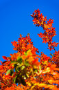 Orange leaves tinted on a crystal blue sky background Stock Images
