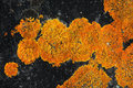 Orange lichen on a black rock vivid contrast of bright growing in concentric circles background Stock Photography