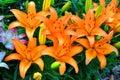 Orange Lilies Royalty Free Stock Photo