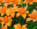 Orange Lilies In Bloom Royalty Free Stock Photo
