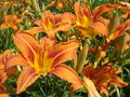 Orange lilies bunch of daylilies in the garden Royalty Free Stock Photo