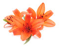 Orange lilies. Royalty Free Stock Photo