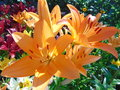 Orange lilies in the summer garden Royalty Free Stock Photo