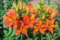 Orange Lilium Royalty Free Stock Photo