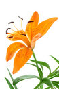 Orange Lilly Royalty Free Stock Image