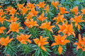 orange lilly Royalty Free Stock Photo