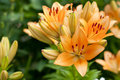 Orange lily Royalty Free Stock Photo