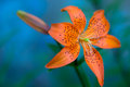 Orange lily against blurry blue background Royalty Free Stock Photo