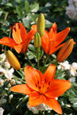 Orange lily close up of tiger flowers in bloom Stock Photo